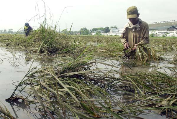 Puluhan hektar Padi Sawah di Tubabab Terancam Gagal Panen