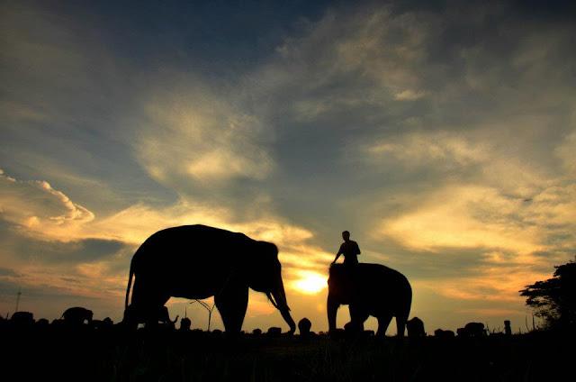 Pemkab Tanggamus Tunggu Izin Pinjam Gajah Jinak Way Kambas