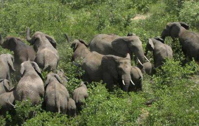 Upaya Menghalau Gajah Masuk ke TNBBS Terkendala Anggaran
